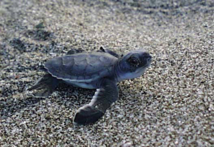 black turtle from Naranjo hatch