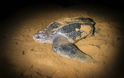 Leatherback Sea Turtle (Dermochelys coriacea)crawled ashore to lay their eggs